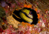 Yellow moray eel peering from hiding place on coral reef — Stock Photo