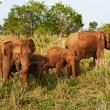 象の家族 — ストック写真