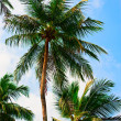 Three palms — Stock Photo