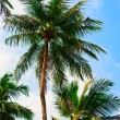 Stock Photo: Three palms
