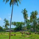 Pinnawala elephant orphanage — Stock Photo