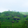 Plantations ceylon tea — Stockfoto
