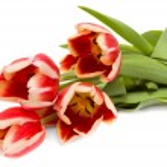 Tulips — Stock Photo #5099795