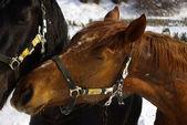 Pferde im Winter — Stock Photo
