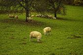 Schafe auf einer Streuobstwiese — ストック写真