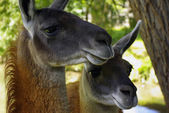 Two Llamas — Stock Photo