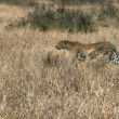 A Leopard stalking — Stock Photo