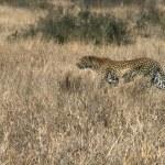 Постер, плакат: A Leopard stalking