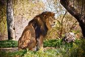 Lion assis dans la forêt — Photo