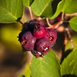 Saskatoon Berries ripening in Summer — Stock Photo