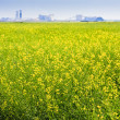 Stock Photo: CanolField on Prairies