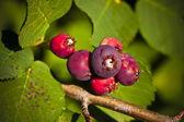 Saskatoon Berries ripening in Summer — Stock Photo