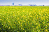 Canola Field on the Prairies — Stock Photo