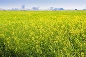Canola Field on the Prairies — Stock Photo