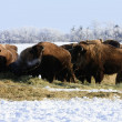 Stock Photo: Buffalo in Winter