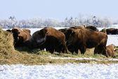 Buffalo in Winter — Stock Photo