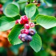 Saskatoon Berry Plant — Stock Photo