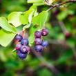 Saskatoon Berry Plant — Stock Photo #5132553