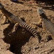 Stock Photo: Spiked Reptiles