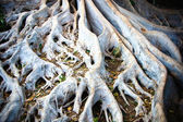 White tree roots — Stock Photo