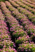 Rows of Pink Flowers — Stock Photo