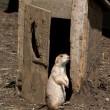 Prairie Dog at the Outhouse — Stock Photo #5157426