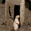 Stock Photo: Prairie Dog at the Outhouse