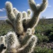Cactus in Southern Arizona — Stock Photo #5159194