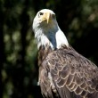 Bald Eagle — Stock Photo #5159575