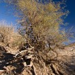 Death Valley Wind Blown Tree - Stock Photo