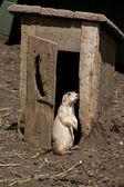 Prairie Dog at the Outhouse — Stock Photo