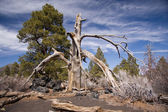 Burnt tree at Sunset Crater National Monument — Stock Photo