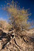 Death Valley Wind Blown Tree — Stock Photo