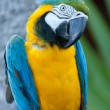 Macaw nodding his head. - Stock Photo