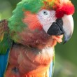 Scarlet Macaw Portrait — Stock Photo