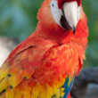 Stock Photo: Scarlet Macaw Portrait
