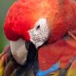 Scarlet Macaw grooming his Feathers — Stock Photo #5163442