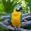 Blue-and-gold Macaw — Stock Photo #5163452