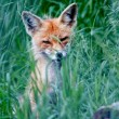Stock Photo: Fox in Grass