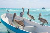 Pelicans at Playa Del Carmen, Mexico — Stock Photo