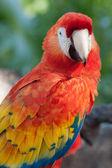 Scarlet Macaw Portrait — Stock Photo