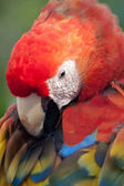 Scarlet Macaw grooming his Feathers — Stock Photo