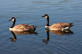 Canada Geese in Water — Stock Photo
