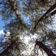 Looking Up at the Trees in the Forest — Stock Photo #5176099