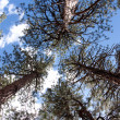 Looking Up at the Trees in the Forest — Stock Photo