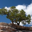 Tree Growing on the Stone Ledge — Stock Photo