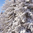 Snow covered Evergreen Trees — Stock Photo