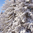 Stock Photo: Snow covered Evergreen Trees