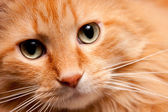 Adorable Orange Kitty cat posing for the Camera — Stock Photo