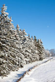 Evergreen Trees along a fence in Winter — Stock Photo